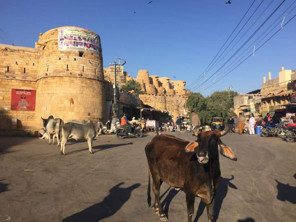 Delhi Car Rental With Driver jaisalmer fort animal on road